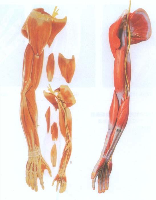 欧美最大胆裸体囹�a_gd/a11305上肢肌肉附血管神经模型