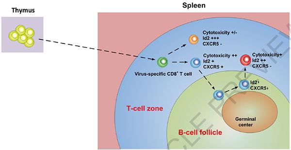 与cxcr5-亚群相比,cxcr5 cd8 t细胞表达了更低水平的抑制性受体分子p