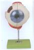 GD/A17102眼球放大模型带支架