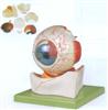 GD/A17101眼球放大模型