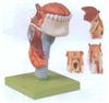 GD/A13003喉连舌、牙模型