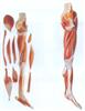 GD/A11308下肢肌肉附主要血管神经模型