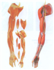 GD/A11305上肢肌肉附血管神经模型