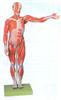 GD/A11302/2人体全身肌肉解剖模型(自然大)