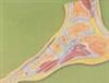 GD/A11207足关节剖面模型