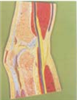 GD/A11206膝关节剖面模型